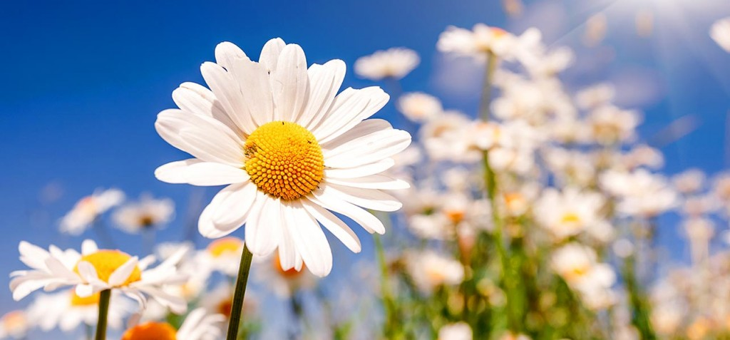 6928-most-beautiful-daisy-flowers