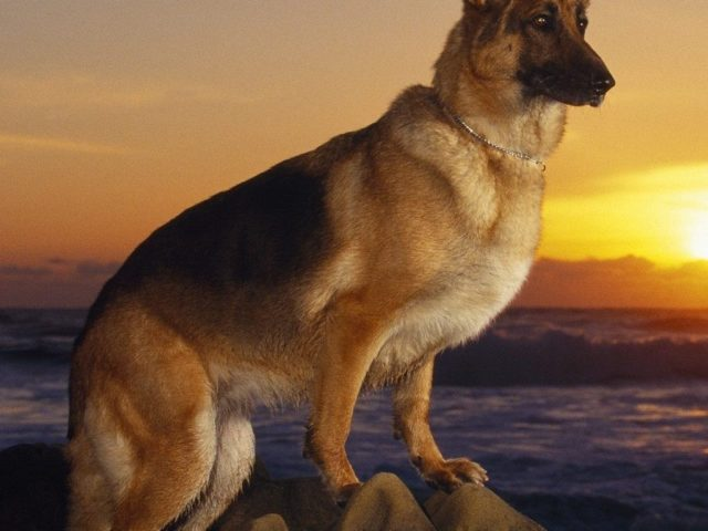 10088356_caini-lupi-wallpapers-poze-catei-dogs-wallpapers_9944