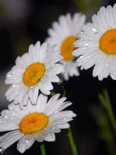 Flowers_After_the_Rain_by_Darkness_in_the_lens